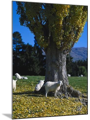 Neuseeland, Sv¼dinsel, Herbst, , Weide, Ziegen , New Zealand-Thonig-Mounted Photographic Print