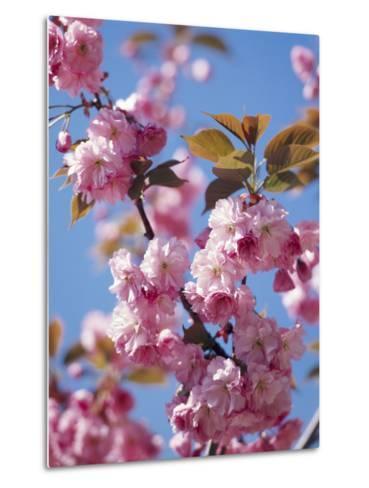 Japanese Cherry Tree, Detail, Branch, Blooms, Spring-Thonig-Metal Print