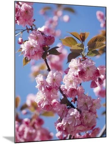 Japanese Cherry Tree, Detail, Branch, Blooms, Spring-Thonig-Mounted Photographic Print
