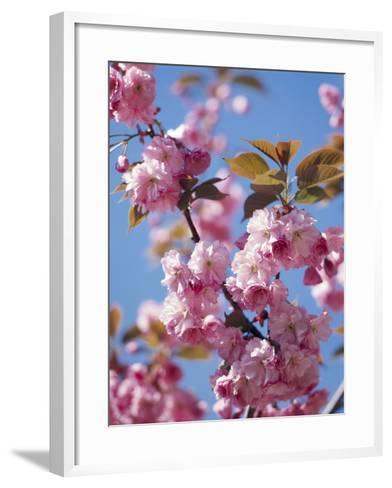 Japanese Cherry Tree, Detail, Branch, Blooms, Spring-Thonig-Framed Art Print