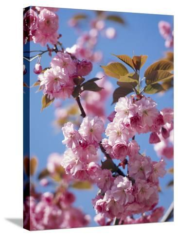Japanese Cherry Tree, Detail, Branch, Blooms, Spring-Thonig-Stretched Canvas Print