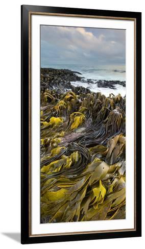 Seaweed, Waipapa Coast, Catlins, Southland, South Island, New Zealand-Rainer Mirau-Framed Art Print