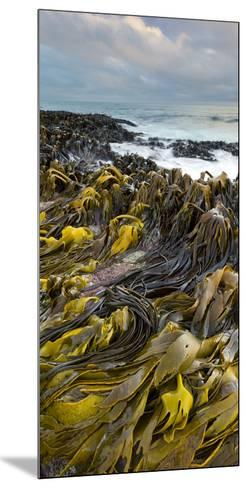Seaweed, Waipapa Coast, Catlins, Southland, South Island, New Zealand-Rainer Mirau-Mounted Photographic Print