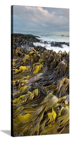 Seaweed, Waipapa Coast, Catlins, Southland, South Island, New Zealand-Rainer Mirau-Stretched Canvas Print