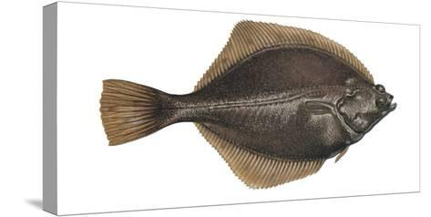 Illustration, Flounder, Platichthys Flesus, Not Freely for Book-Industry, Series-Carl-Werner Schmidt-Luchs-Stretched Canvas Print