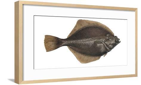 Illustration, Flounder, Platichthys Flesus, Not Freely for Book-Industry, Series-Carl-Werner Schmidt-Luchs-Framed Art Print