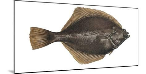 Illustration, Flounder, Platichthys Flesus, Not Freely for Book-Industry, Series-Carl-Werner Schmidt-Luchs-Mounted Photographic Print