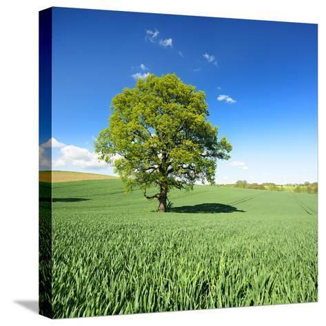 Single Oak in Grain Field in Spring, Back Light, Burgenlandkreis, Saxony-Anhalt, Germany-Andreas Vitting-Stretched Canvas Print