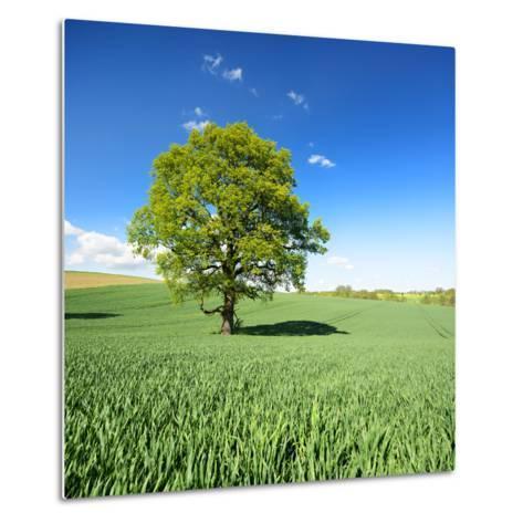 Single Oak in Grain Field in Spring, Back Light, Burgenlandkreis, Saxony-Anhalt, Germany-Andreas Vitting-Metal Print