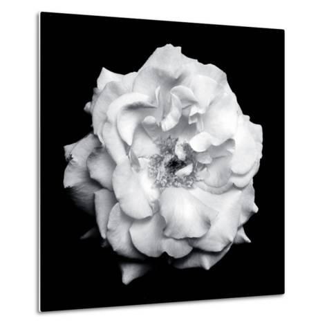 Blossom of a White Garden Rose on Black Background-Alaya Gadeh-Metal Print