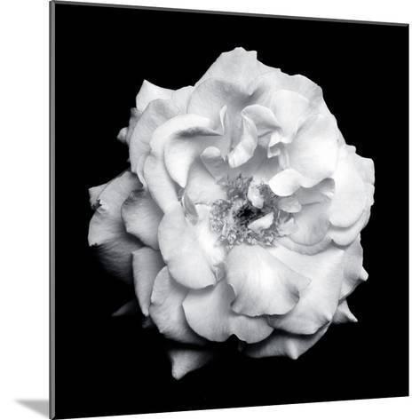 Blossom of a White Garden Rose on Black Background-Alaya Gadeh-Mounted Photographic Print
