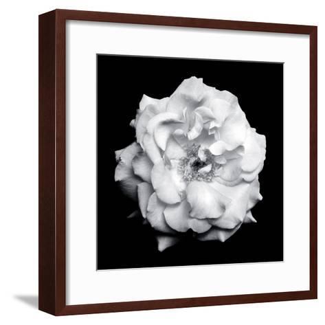 Blossom of a White Garden Rose on Black Background-Alaya Gadeh-Framed Art Print