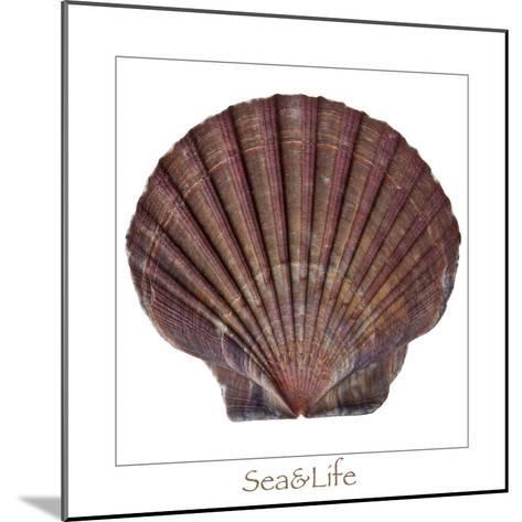 Maritime Still Life with Scallop-Uwe Merkel-Mounted Photographic Print
