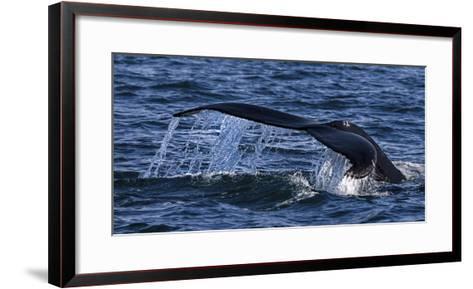 Humpback Whale (Megaptera Novaeangliae) Whale Watching, HáSavik, Iceland, Europe-Dieter Meyrl-Framed Art Print
