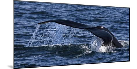 Humpback Whale (Megaptera Novaeangliae) Whale Watching, HáSavik, Iceland, Europe-Dieter Meyrl-Mounted Photographic Print