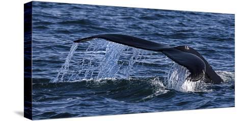 Humpback Whale (Megaptera Novaeangliae) Whale Watching, HáSavik, Iceland, Europe-Dieter Meyrl-Stretched Canvas Print