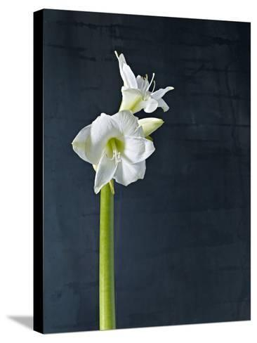 Amaryllis, Flower, Blossom, Still Life, White-Axel Killian-Stretched Canvas Print