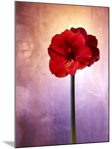 Amaryllis, Flower, Blossom, Still Life, Red, Violet-Axel Killian-Mounted Photographic Print
