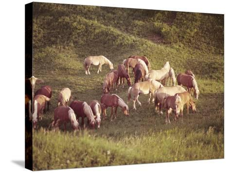 Horses, Haflinger, Meadow-Thonig-Stretched Canvas Print