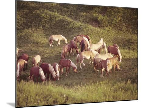 Horses, Haflinger, Meadow-Thonig-Mounted Photographic Print