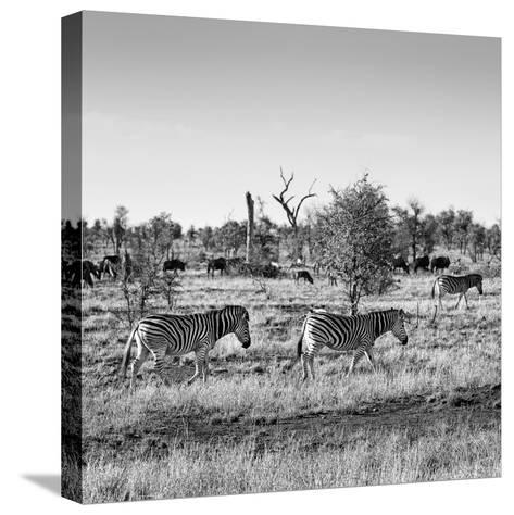 Awesome South Africa Collection Square - Herd of Zebra B&W-Philippe Hugonnard-Stretched Canvas Print