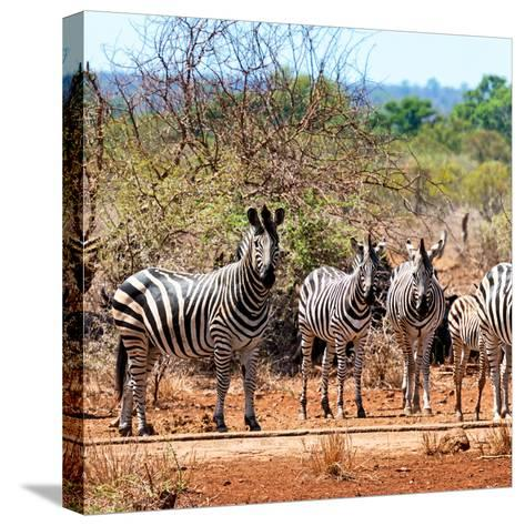 Awesome South Africa Collection Square - Herd of Zebra II-Philippe Hugonnard-Stretched Canvas Print