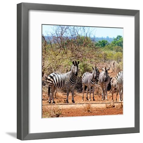 Awesome South Africa Collection Square - Herd of Zebra II-Philippe Hugonnard-Framed Art Print