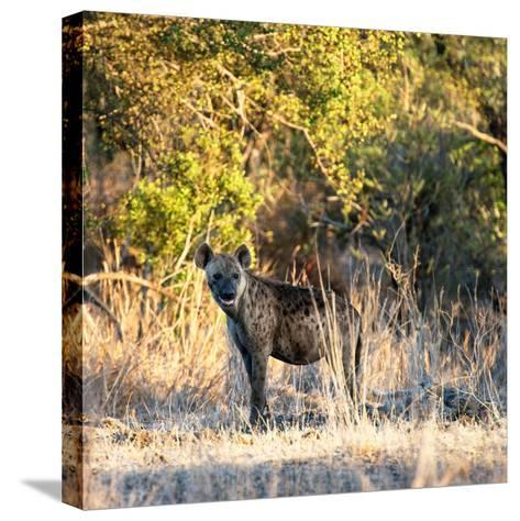 Awesome South Africa Collection Square - Hyena at Sunrise-Philippe Hugonnard-Stretched Canvas Print