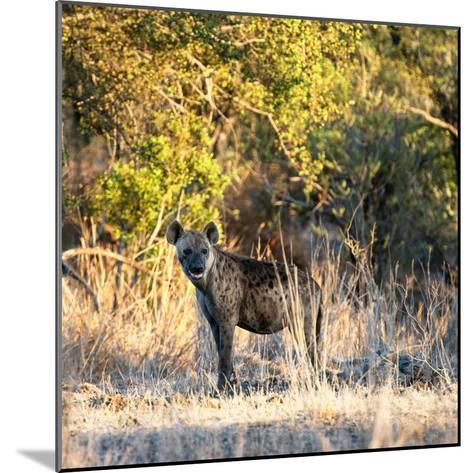 Awesome South Africa Collection Square - Hyena at Sunrise-Philippe Hugonnard-Mounted Photographic Print