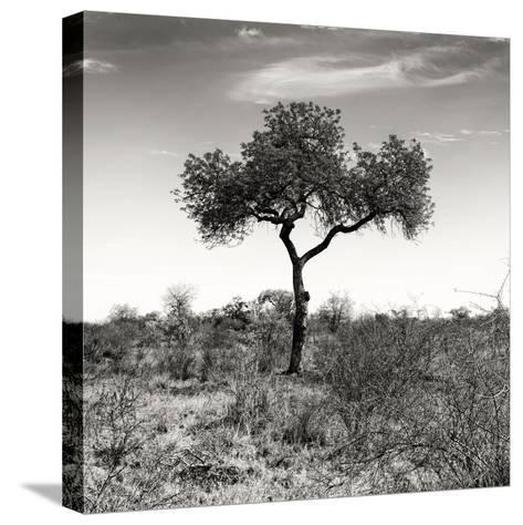 Awesome South Africa Collection Square - One Acacia Tree B&W-Philippe Hugonnard-Stretched Canvas Print