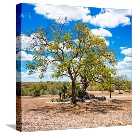 Awesome South Africa Collection Square - African Acacia Tree-Philippe Hugonnard-Stretched Canvas Print