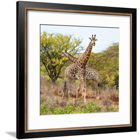 Awesome South Africa Collection Square - Crossing Giraffes-Philippe Hugonnard-Framed Art Print