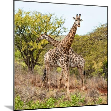 Awesome South Africa Collection Square - Crossing Giraffes-Philippe Hugonnard-Mounted Photographic Print