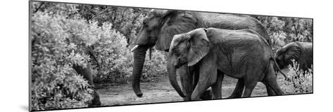Awesome South Africa Collection Panoramic - Elephant Family B&W-Philippe Hugonnard-Mounted Photographic Print