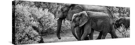 Awesome South Africa Collection Panoramic - Elephant Family B&W-Philippe Hugonnard-Stretched Canvas Print