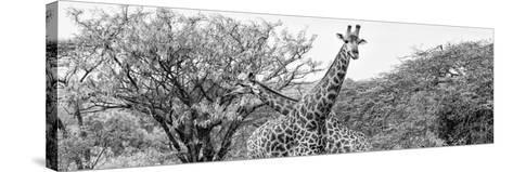 Awesome South Africa Collection Panoramic - Giraffes in Savannah III B&W-Philippe Hugonnard-Stretched Canvas Print