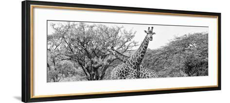 Awesome South Africa Collection Panoramic - Giraffes in Savannah III B&W-Philippe Hugonnard-Framed Art Print