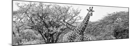 Awesome South Africa Collection Panoramic - Giraffes in Savannah III B&W-Philippe Hugonnard-Mounted Photographic Print