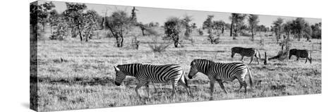 Awesome South Africa Collection Panoramic - Herd of Burchell's Zebras B&W-Philippe Hugonnard-Stretched Canvas Print