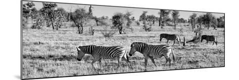 Awesome South Africa Collection Panoramic - Herd of Burchell's Zebras B&W-Philippe Hugonnard-Mounted Photographic Print
