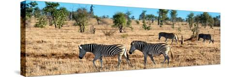 Awesome South Africa Collection Panoramic - Herd of Burchell's Zebras-Philippe Hugonnard-Stretched Canvas Print