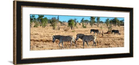 Awesome South Africa Collection Panoramic - Herd of Burchell's Zebras-Philippe Hugonnard-Framed Art Print