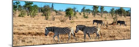 Awesome South Africa Collection Panoramic - Herd of Burchell's Zebras-Philippe Hugonnard-Mounted Photographic Print