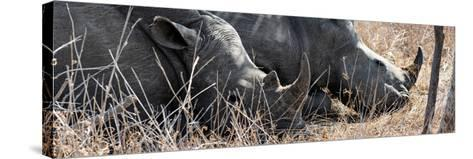 Awesome South Africa Collection Panoramic - White Rhinos Sleeping-Philippe Hugonnard-Stretched Canvas Print