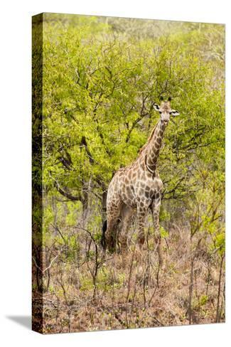 Awesome South Africa Collection - Giraffe-Philippe Hugonnard-Stretched Canvas Print