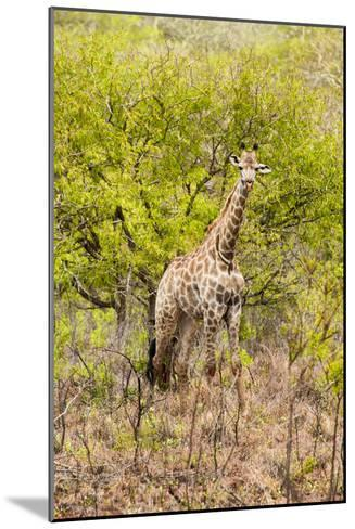 Awesome South Africa Collection - Giraffe-Philippe Hugonnard-Mounted Photographic Print