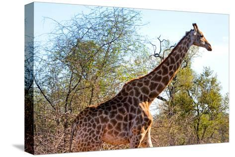 Awesome South Africa Collection - Giraffe at Sunset I-Philippe Hugonnard-Stretched Canvas Print