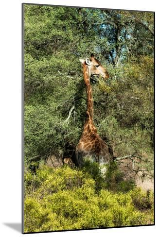 Awesome South Africa Collection - Giraffe eating from the Tree-Philippe Hugonnard-Mounted Photographic Print