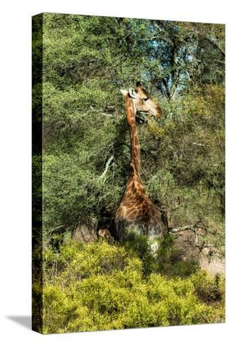 Awesome South Africa Collection - Giraffe eating from the Tree-Philippe Hugonnard-Stretched Canvas Print