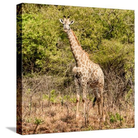 Awesome South Africa Collection Square - Giraffe Portrait II-Philippe Hugonnard-Stretched Canvas Print